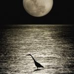 Full moon over Indian River, FL. With bird in the foreground in the water.